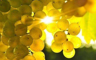 Le Espressioni del Vermentino, il vitigno del Mediterraneo