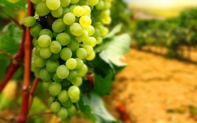 Degustiamo insieme i Vini Bianchi del Centro Italia